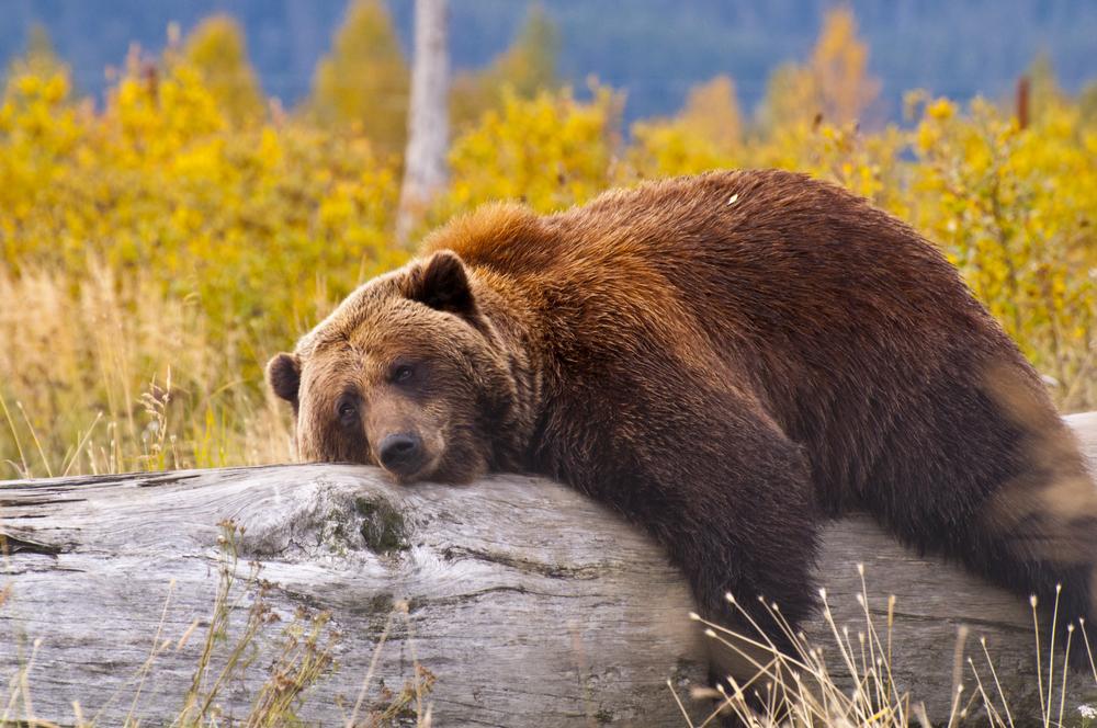 Bear-Treehugger-3